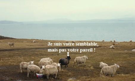 0 Moutons sur l'île de Burray - Orcades.jpg